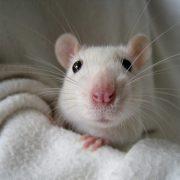 Гороскоп Крыса июнь 2020